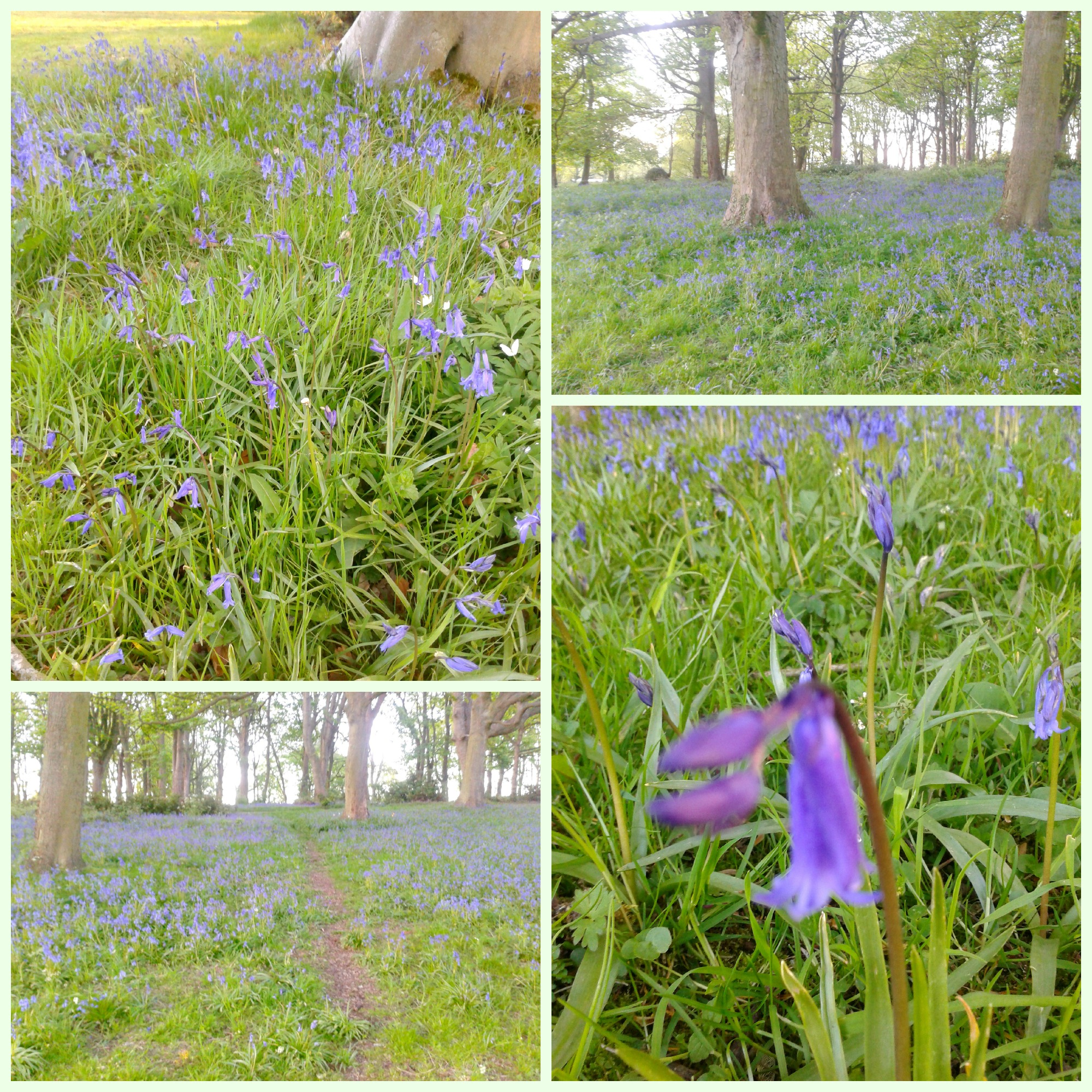 Bluebell 2 Collage