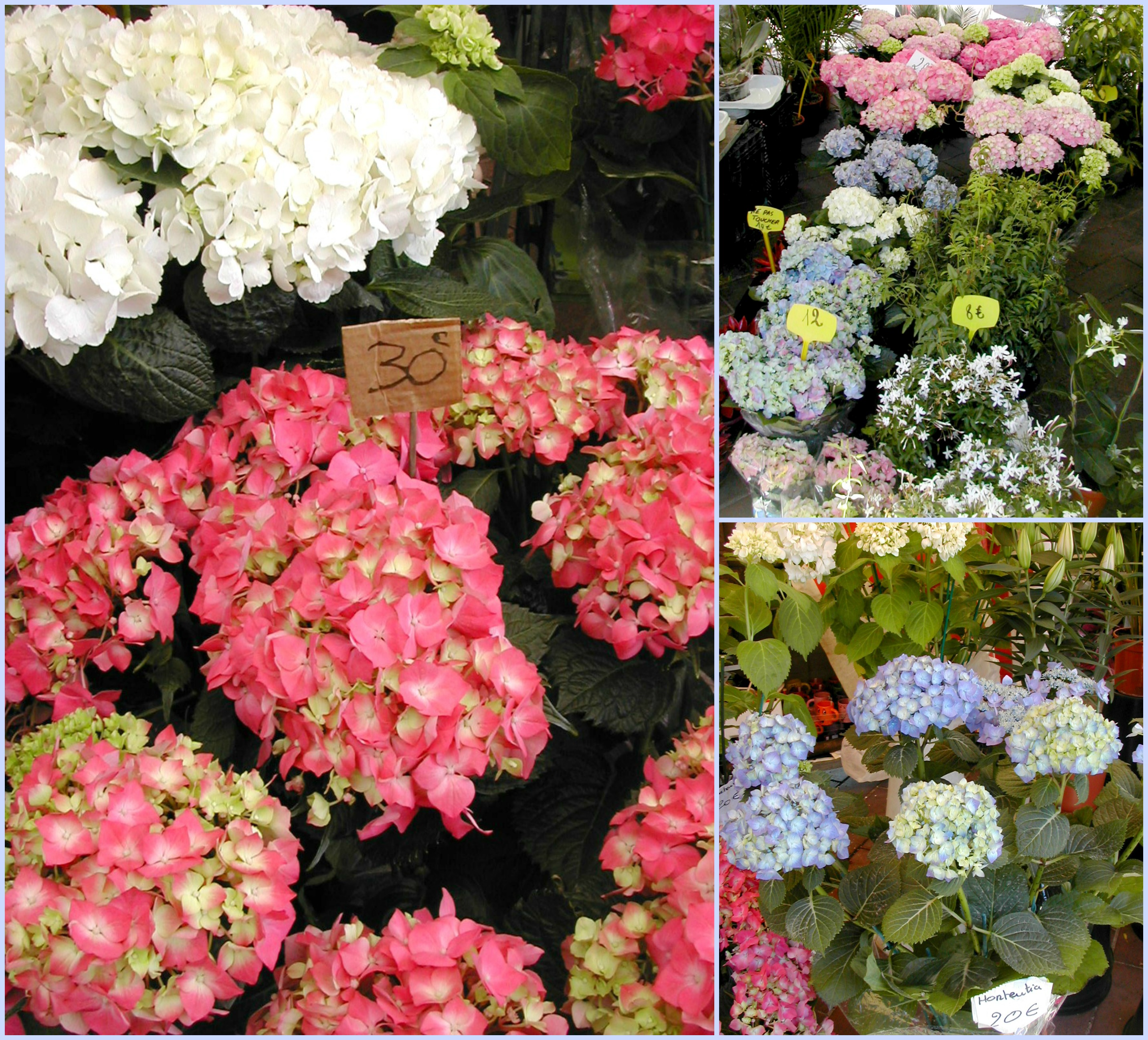 french hydrangea Collage