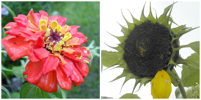 ZinniaSunflower Collage