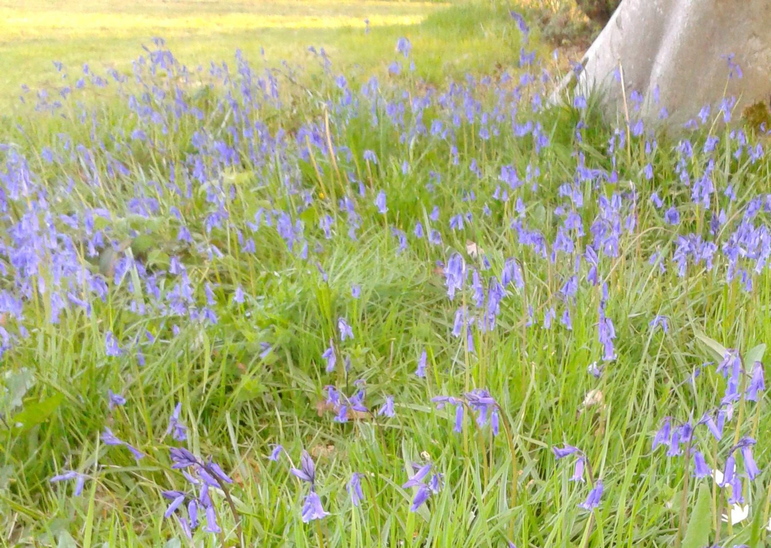 bluebell11a
